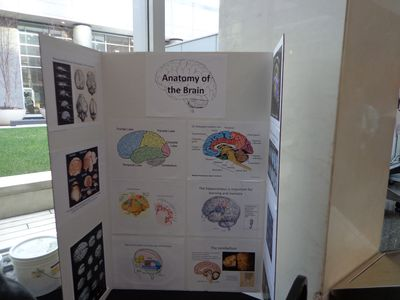 Brain anatomy2